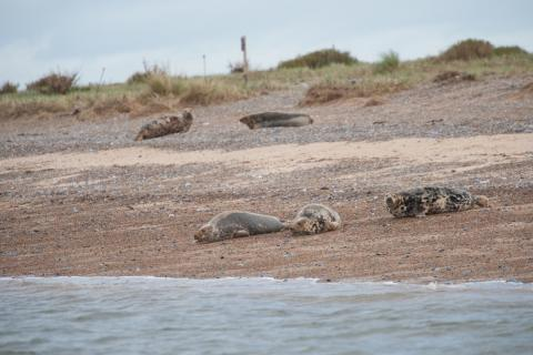 Seals at Blakeney