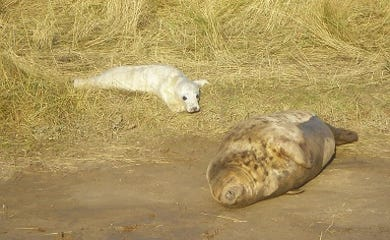 seal pup with mum