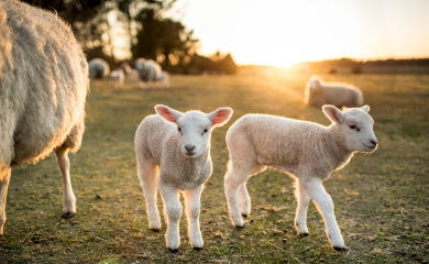 Lambs in countryside