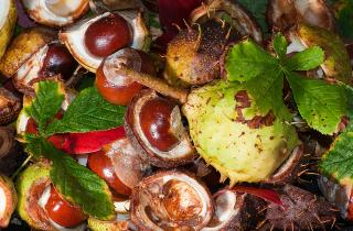 A selection of conkers