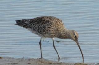 Curlew, Wells next the Sea