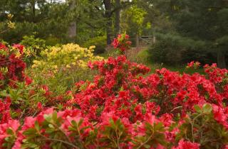 Red Azaleas in a country park