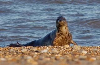 Seal on Norfolk coast
