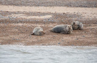 Grey Seals on Beach