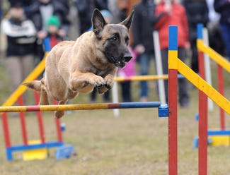 Dog jumping a hurdle