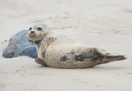 Seal on Blakeney beach in Norfolk