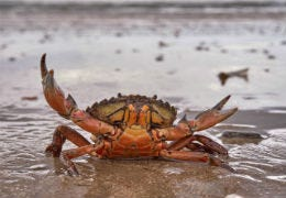 Cromer crab on the beach