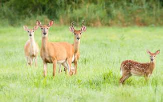 Deer in the countryside