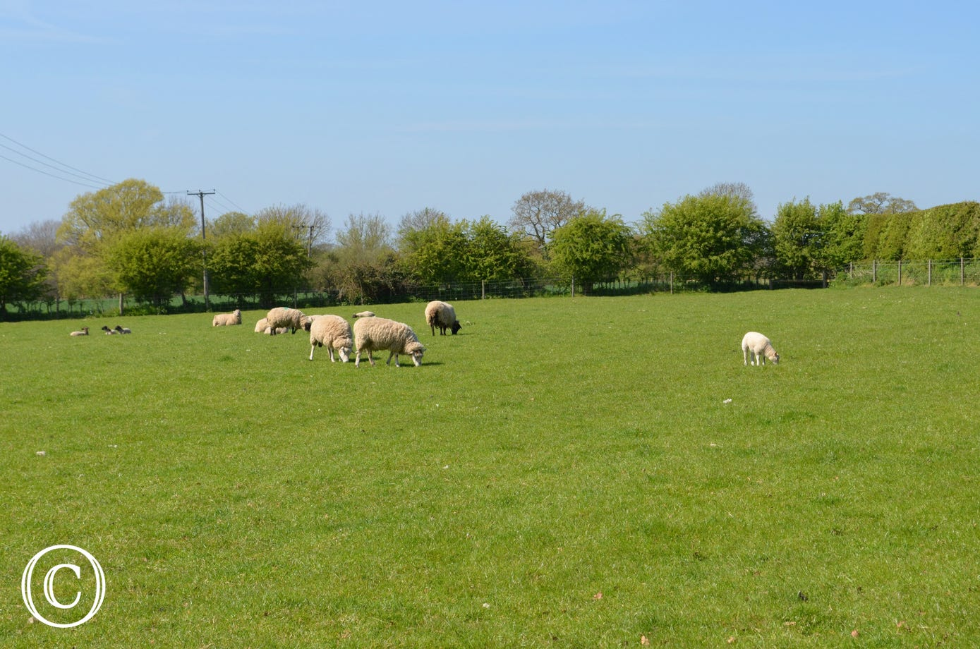 Sheep and lambs in the fields near to the property.