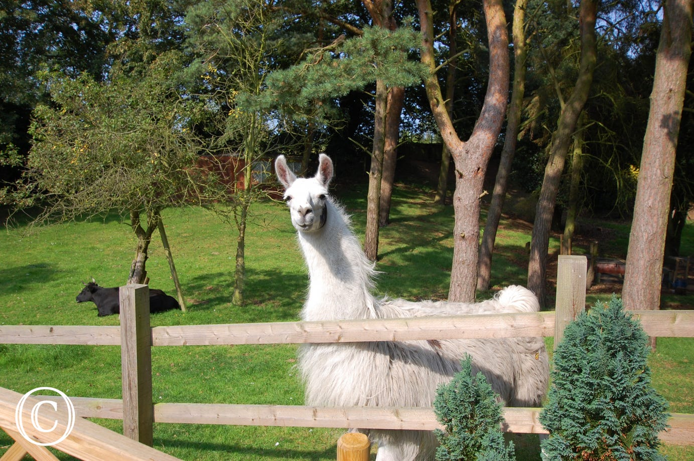 Lawrence the Llama looking over the fence.
