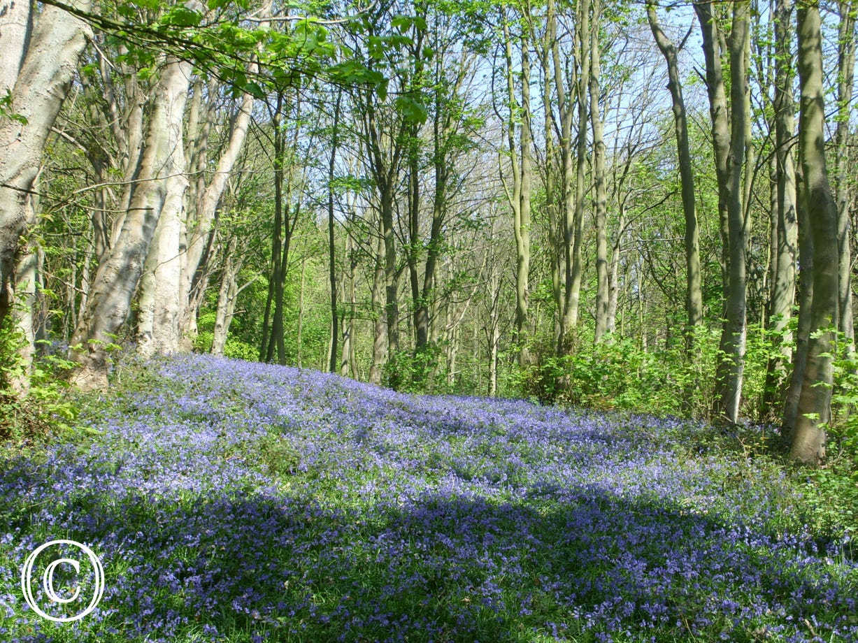 Bluebells in surrounding woodland
