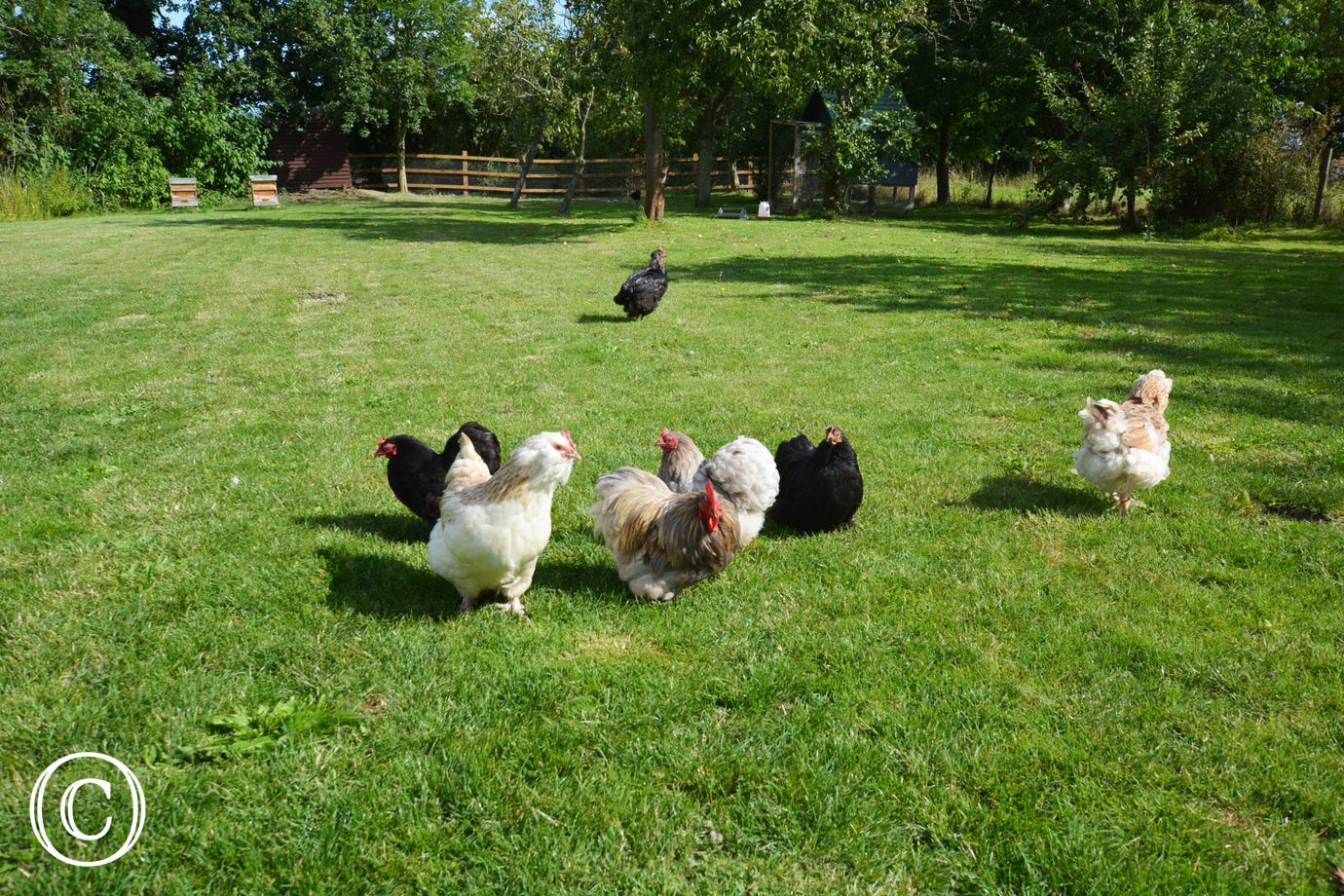 The owners friendly chickens