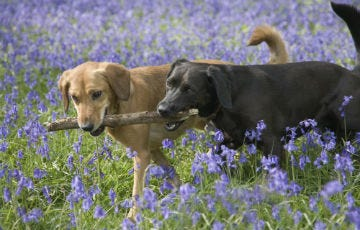Two dogs walking through bluebells